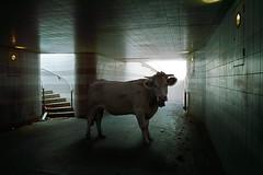 Bestial serie (Aur from Paris) Tags: paris france animals cow fake surreal montage photomontage unreal tunel bercy ruraldecay couloir vache boeuf surraliste aur quaidelarape sigmadp1