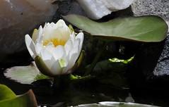 water lily (2) (KarenLynnn) Tags: flowers waterlilies kaysgarden nikond300 18270mm colorado2009