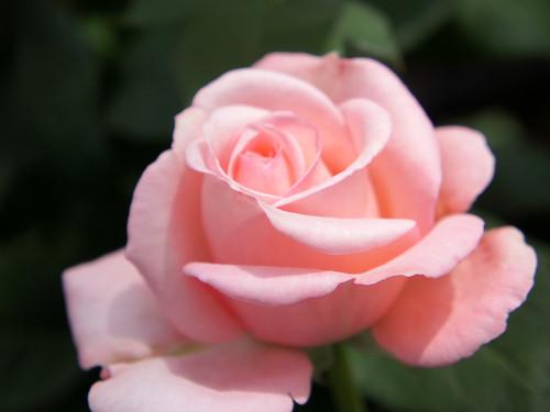 Rose Libya バラ リビヤ