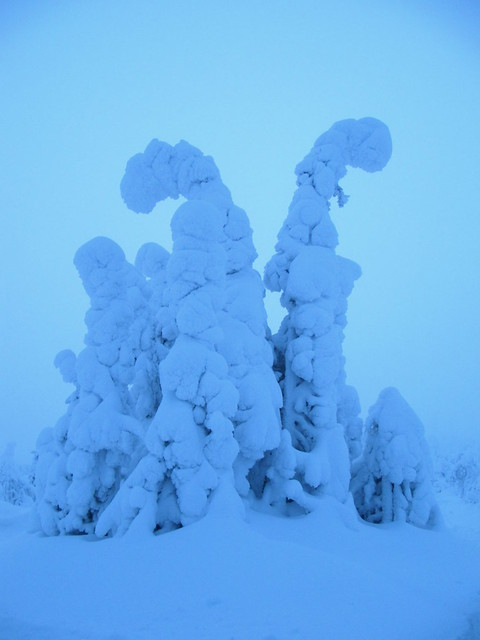 the eerie blue light of Kaamos - tree structures laden with snow