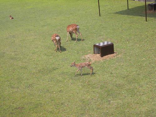 母子鹿の特別公開@鹿苑角きり場-07