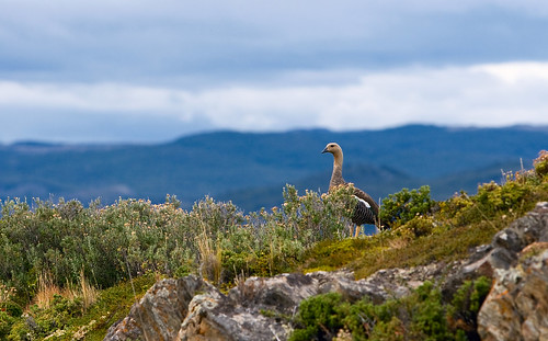 Beagle Channel Fowl
