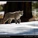 Bobcat (Lynx rufus), Yosemite by jimgoldstein