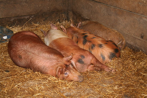 Four Not So Little Pigs