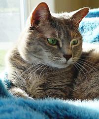 Soaking up the Sunshine (dphock) Tags: light sunlight cat feline tabby panasonic backlit dmcfz18 pfogold