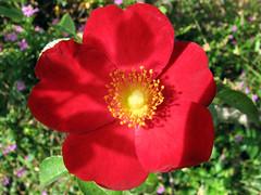 A Flower Day - Thursday (emblatame (Ron)) Tags: flower rose flora australia lakebarrine athertontablelands fineartphotos mywinners superbmasterpiece diamondclassphotographer flickrdiamond