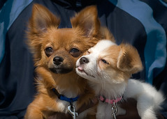 Beanie & Daisy (Piotr Organa) Tags: portrait dog pet toronto canada chihuahua cute beach face animal puppy adorable papillon pomeranian soe supershot abigfave thelittledoglaughed aplusphoto pet1000 goldstaraward flickrlovers