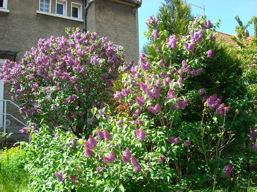 Lilas en fleur-8