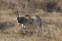 Beisa Oryx (helenglazer) Tags: animals kenya samburu beisaoryx