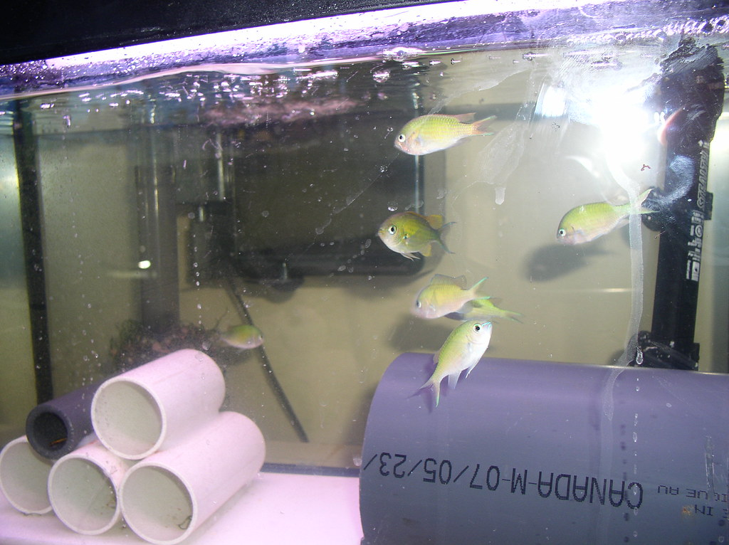 Green Chromis' in Quarantine