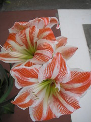Caught in Madiera (loisberg12) Tags: flowers lily lillies naturesfinest redlillies mywinners abigfave floralappreciation betterthangood everydayissunday loisberg12 redwhitestripedlilly stripedlilly