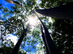 Rainbow Eucalyptus (as_cummings01) Tags: trees sky sun nature hawaii angle maui hana eucalyptus rainbowtree rainboweucalyptus