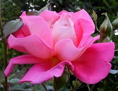 Pink Beauty (karin_b1966) Tags: plant flower nature rose blossom natur pflanze blume blte flowerphotography flickrnature pinkalicious beautyofthenatureworld aroseaqueeninitself ~ilovenature~