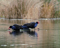 Sticky Feet (Jack High) Tags: birds newspaper aves wetlands courier southaustralia pukeko purpleswamphen porphyrioporphyrio swamphen adelaidehills porphyrio laratinga mtbarker