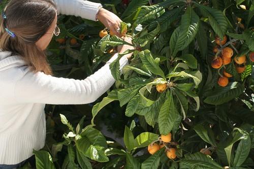 Colhendo nêsperas (Eriobotrya japonica)