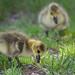 goslings1