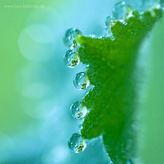 My favorite dew-catcher (Devotional Fine Art Photography | Lars Basinski) Tags: dewdrops droplets mnchengladbach unison buntergarten frauenmantel ladysmantle clarsbasinski inunisonwiththelight presentsofthemorning indevotiontothelight facetsofinnergifts