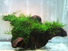 Thủy Sinh Tuấn Anh-Chuyên cây & Rêu Thủy Sinh, Cá Cảnh Biền & Hồ Cá Cảnh Biển - 20
