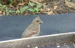 First baby cardinal 2008