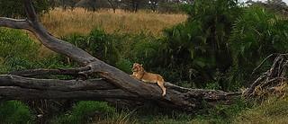 Lion & Tree