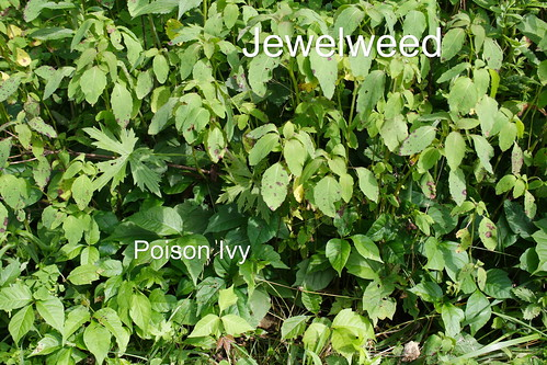 Jewelweed and Poison Ivy