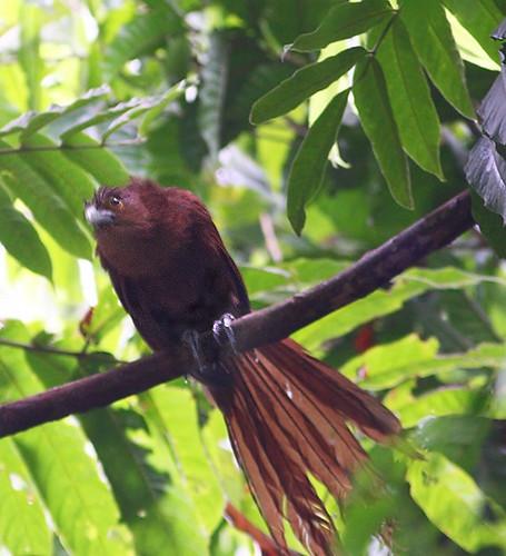 Rufous Coucal (Centropus unirufus) by slr2006.