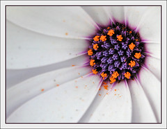 Purple Reign (vera-art (been ages!!! - coming back to life...)) Tags: white flower macro closeup purple centre daisy awesomeblossom bej fantasticflower flickrhearts macroawards flickrsfantasticflowers betterthangood theperfectphotographer goldstaraward photographersgonewild