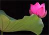 Lotus Flower - IMG_8526 Lotus Flower: Pink