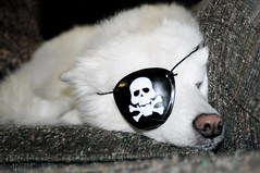 Let Cute Sleeping Pirate Dogs Lie!  YIP 221 (::cyndi::) Tags: dog white angel 888 eyepatch whitedog americaneskimo piratedog furrycreature explored summer08 mydoghasmanypersonalities ithinkmyfiftyisnifty