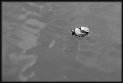 Hop on © (Sneaky Stef ™) Tags: blackandwhite bw baby black sexy water animal canon eos 350d big rotterdam blijdorp turtle small tortoise shell canoneos350d specanimal