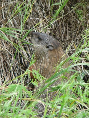 No sabemos que este animalito como una rata gigante , ardilla tampoco es estaba al costado de l aruta