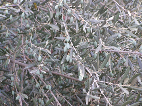 olive tree fournes hania chania