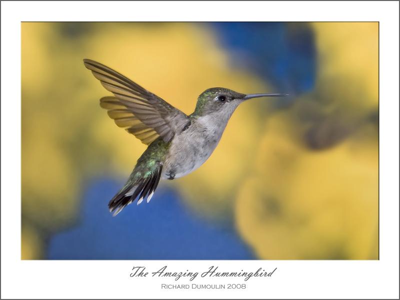 The Amazing Hummingbird / Le super colibri