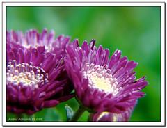fiori viola (Andrea Rapisarda) Tags: flowers macro nature purple natura fiori viola wonderfulworldofflowers andrearapisarda