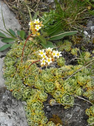 White Mountain Saxifrage (Saxifraga cernua)
