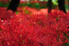 [フリー画像] [花/フラワー] [彼岸花] [レッド/花] [赤色/レッド]       [フリー素材]