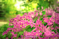 End of the summer joy (Thushan Sanjeewa) Tags: pink summer flower bravo sanjeewa magicdonkey thushan theperfectphotographer simplythebest~flowers thushansanjeewa