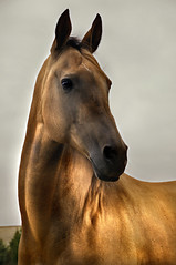 golden thought (Dan65) Tags: horse gold golden head 4 explore buckskin dun teke akhal akhalteke gazan