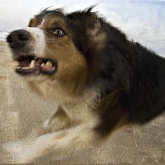wollie atyou (laatideon) Tags: dog texture beach digital canon running overlay etcetc wollie thelittledoglaughed laatideon deonlategan