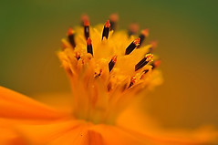 Yellow Cosmos (naruo0720) Tags: plant flower macro nature yellow closeup nikon bokeh soe cosmos d300 yellowcosmos   cosmossulphureus supershot abigfave platinumphoto colorphotoaward theunforgettablepictures overtheexcellence rubyphotographer