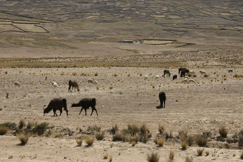 Llamas on the Bolivian altiplano...