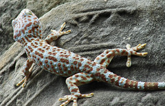 Colored gecko