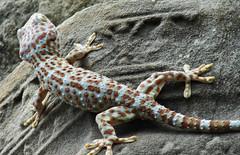 Colored gecko