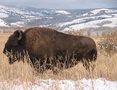 The first up-close bison I saw in Grand Teton NP, Wyoming (Hazboy) Tags: park usa west nature beautiful animal landscape us nationalpark buffalo wildlife united jackson western states wyoming teton bison parc grandteton jacksonhole hazboy hazboy1