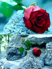 ..     {   (Weda3eah*) Tags: birthday flowers red green love happy you gray 100mm doha qatar roks qtr 50mm25 tloofy weda3eah
