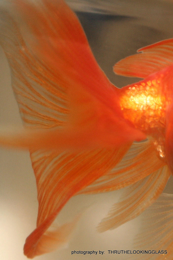 "A Goldfish ""Tale""..."