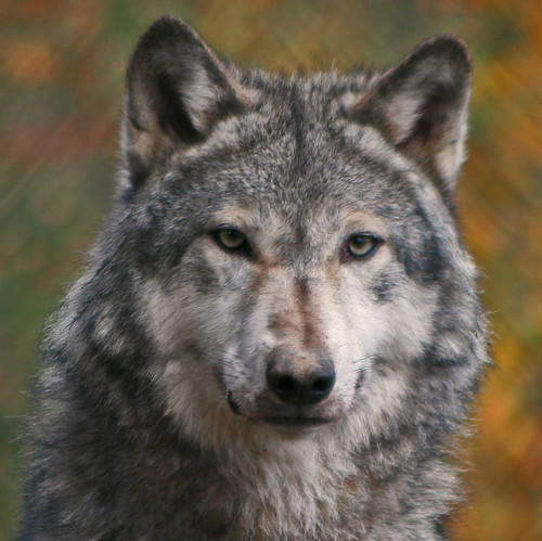 Image Result For Facts About Wolves