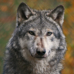 Grey Wolf (Gary's Photos!!) Tags: ireland dublin dog eye dogs animal canon fur mammal nose photography eos grey zoo photo big scary paw wolf foto fierce wildlife teeth gray bad conservation canine ear celtic endangered lupus graywolf wolves gentle howl carnivore protected 30d greywolf canis canislupus threatened canidae garywilson baileathcliath