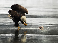 Eagle Clawing To Break Through the Ice (ozoni11) Tags: winter lake bird ice nature water birds interestingness nikon eagle drink lakes baldeagle explore drinks raptor prey eagles raptors baldeagles columbiamaryland 282 wildelake interestingness282 i500 explore282 michaeloberman ozoni11