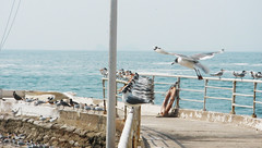 llegando (Pairazaweb) Tags: sea bird mar arrive albatros gaviota arriving llegando